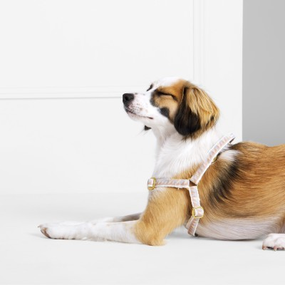 A brown and white dog lying on the ground wearing a harness